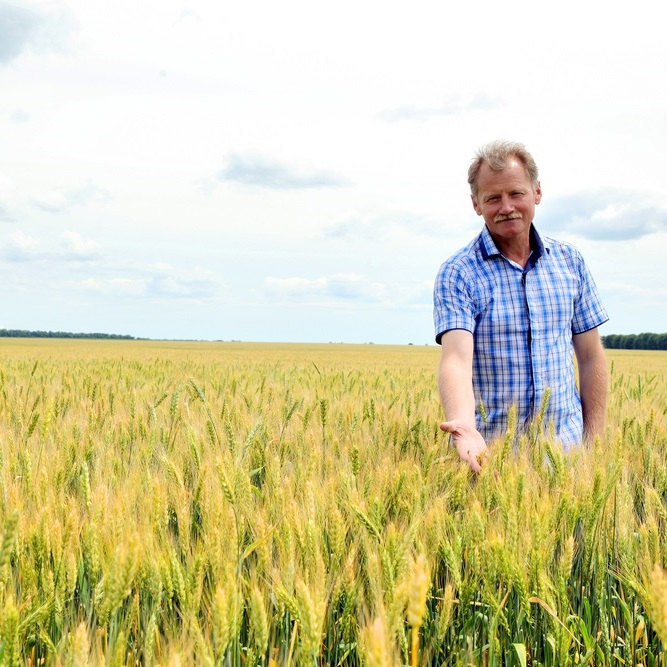 Farmer standing in wheat paddock pointing to crop